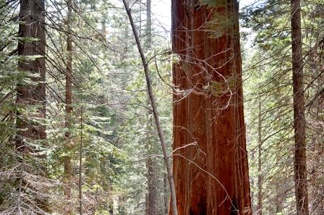 Sequoias6