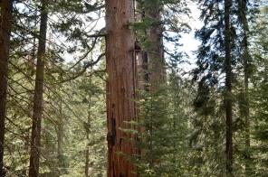 Sequoias8